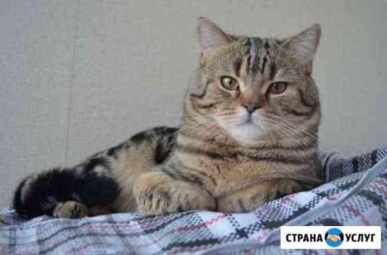 Шотландский кот.Вязка Нижневартовск