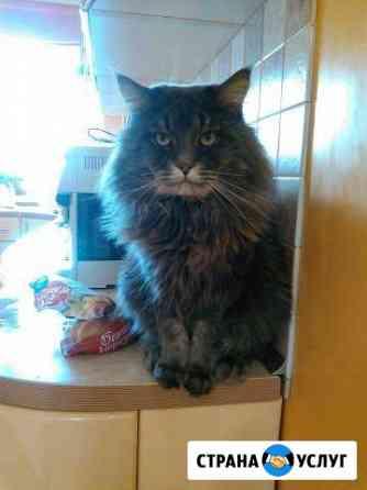 Вязка с породистым котом мейн-кун Москва